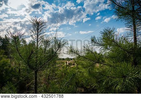 Felled Pine Trees In Forest