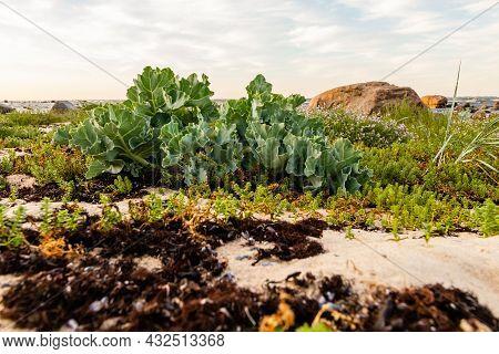 Low Angle Photo Of Sea Kale (crambe Maritime) Growing Wild On The Coast Of Hiiumaa.  Green Seakale P