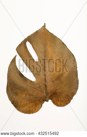 Dry Monstera Leaf Isolate. Texture, Pattern And Surface Of Dry Brown Autumn Monstera Leaf With Veins