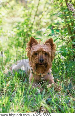 Portrait Of Cute Yorkshire Terrier Dog In Summer Foliage With Flowers. Summer Vibes.