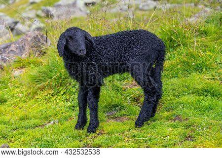 Cute Black Lamb On Alpine Mountain Pasture.