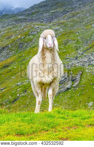 Cute White Alpine Sheep On Mountain Pasture. Front View
