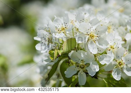 Pear Flowers. Blooming Tree In The Garden. White Delicate Flowers And Green And Young Leaves. Malina