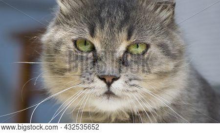 Beautiful Fluffy Kitten. Tabby Gray Cat Outdoors. Beautiful Kitten, Grey Cat. A Homeless Animal With