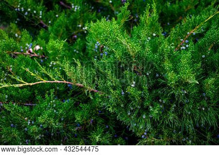 Natural Floral Texture Of Juniperus Scopulorum With Blue Berries. Green Branches Of A Coniferous Pla