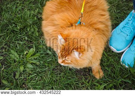 A Ginger Cat On A Harness And A Leash Walking With His Owner On Grass Outdoors.