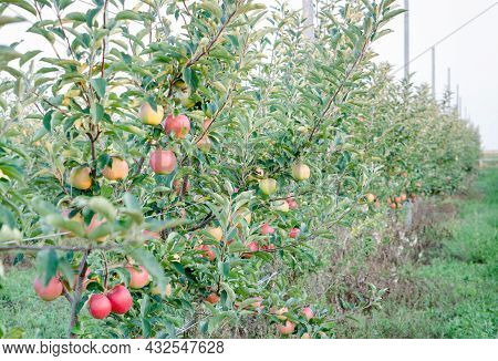 Ripe Juicy Apples Of The Gala Mast Variety On The Branches Of An Apple Tree, Grown In An Orchard, On