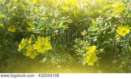 Dasiphora Shrub (dasiphora Fruticosa), Or Kuril Tea, Shrub Cinquefoil. Floral Natural Background