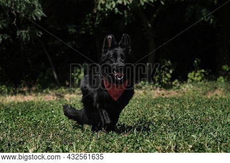 Charming Shepherd Dog With Red Bandana Around Neck. Black Long Haired German Shepherd Runs Merrily T
