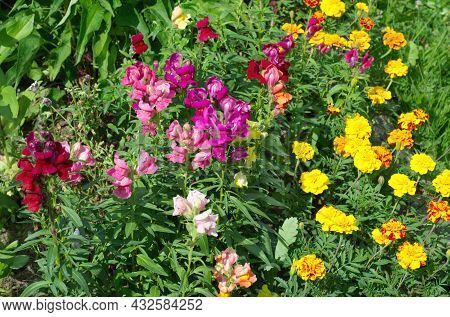 Snapdragon Large-flowered (lat. Antirrhinum) And Marigolds (lat. Tagetes) Bloom On A Flower Bed In A