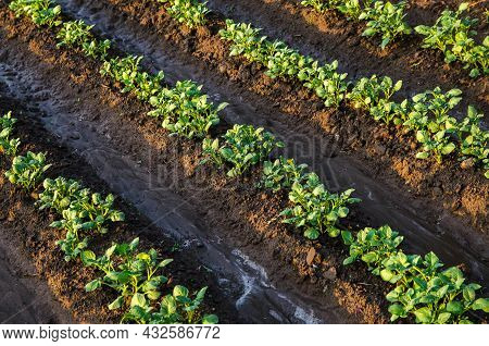 Freshly Watered Potato Plants. Surface Irrigation Of Crops On Plantation. Agriculture And Agribusine