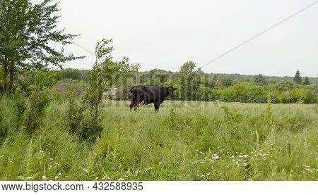 Photography On Theme Beautiful Big Milk Cow Grazes On Green Meadow Under Blue Sky. Photo Consisting