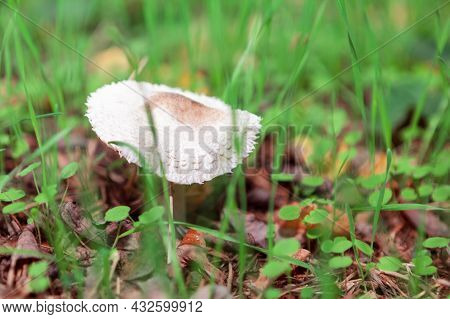 White Mushroom Growing In Green Grass In Autumn