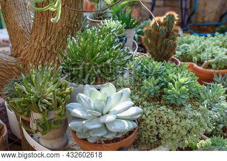 Succulent Plants Echeveria, Sedum, Senecio And Cactus Cereus In Flower Pots In Sunny Garden.