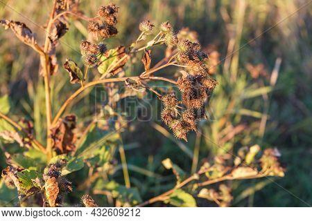 Dry Burdock Flower. Greater Burdock. Arctium Lappa