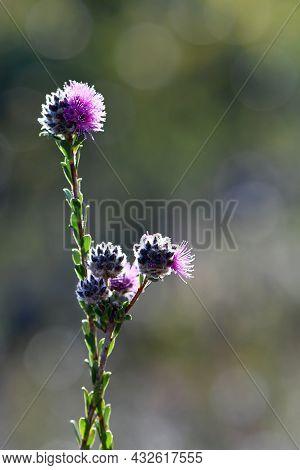 Pinkish Purple Flowers Of The Australian Native Myrtle Kunzea Capitata, Family Myrtaceae, Growing In