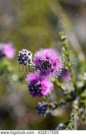 Closeup Of Pinkish Purple Flowers Of The Australian Native Myrtle Kunzea Capitata, Family Myrtaceae,