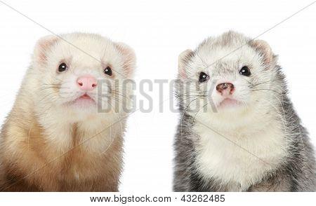 Two Ferrets. Close-up Portrait