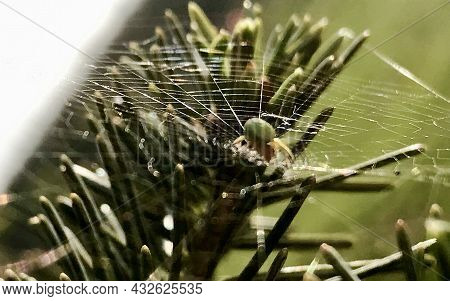 Photography To Theme Big Tabby Spider On Dew Web