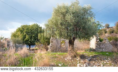 Olive And Other Fruit Trees In Abandoned Old Village Of Trozena, Cyprus