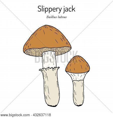 Slippery Jack Or Sticky Bun Suillus Luteus , Edible Mushroom. Hand Drawn Botanical Vector Illustrati