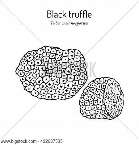 Perigord Or French Black Truffle Tuber Melanosporum , Edible Mushroom. Hand Drawn Botanical Vector I