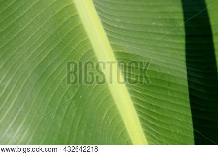 A Close-up View Of The Banana Leaf.