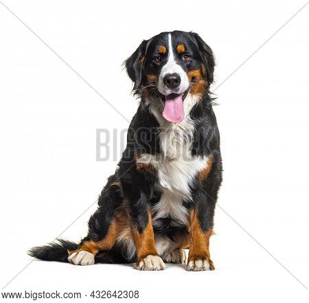 Tricolor Bernese Mountain Dog sitting, looking at camera and panting isolated on white