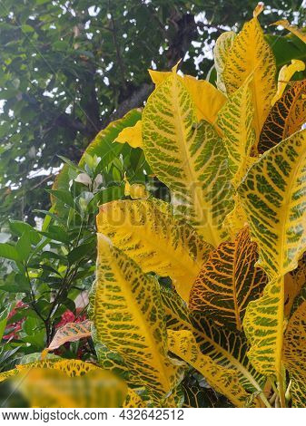 Crotons Means That The Plant Symbolizes Change.it Is A Leaves Of Yellow Crotons With Green Backgroun