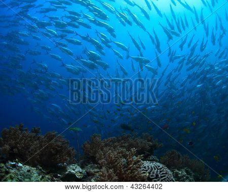 School of Jack fish swirling in a depth
