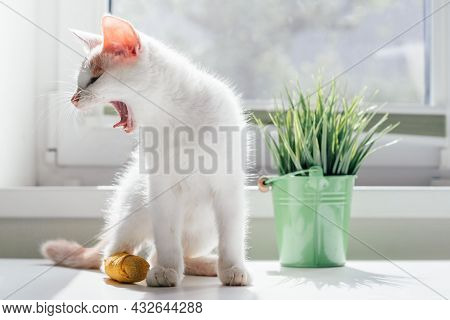 White And Ginger Cat 3-4 Months Sits Near Window And Yawns. Kitten With Foot Bandaged With Yellow Ba