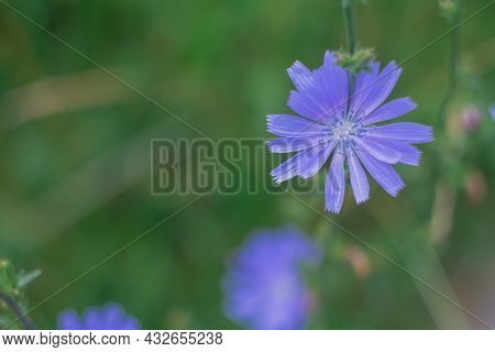 A Glade With Delicious Blue Chicory Flowers, An Azure Flower Blooming In A Meadow.