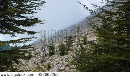 Lebanese cedar trees - rare and endangered species of trees in pine family, grow high on mountainside of Tahtali dagi \ mount Olympos along Lycian way hiking trail in Turkey Mediterranean region