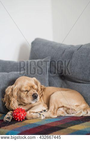 American Cocker Spaniel Sleeps On The Sofa