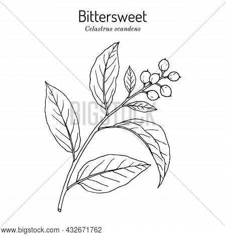 Staff Vine Or American Bittersweet Celastrus Scandens , Medicinal And Ornamental Plant. Hand Drawn B