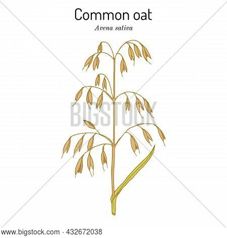Common Oat Avena Sativa , Edible And Medicinal Plant. Hand Drawn Botanical Vector Illustration