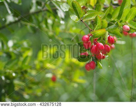Karonda Fruit, Carissa Carandas L. Karanda; Carunda; Christ's Thorn, Apocynaceae Tree Blooming In Ga