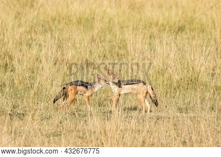 A pair of black-backed jackals in the grasslands of the Masai Mara, Kenya. One animal is grooming the other.