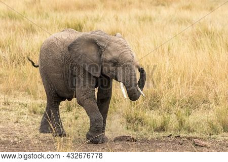 Young elephant, loxodonta africana, dusting in the Masai Mara, Kenya. Elephants coat themselves in dust to help regulate body tempurature and keep ccol