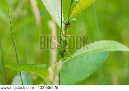 Green Grasshopper - Tettigonia Viridissima Sitting On A Leaf Of Grass. The Grasshopper Has Long Tent