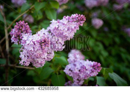 Lilac Spring Flowers Bouquet Purple Background Art Design.