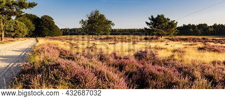Panorama With Blooming Heather At Planken Wambuis And Ginkel Heath, Veluwe In Ede In The Netherlands
