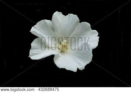 Close Up Of A White Hibiscus Flower With A Fully Developed Pistil Isolated On A Black Background