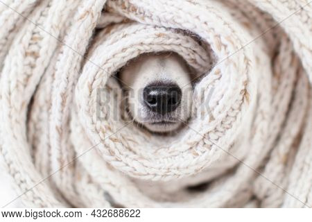 Muzzle is wrapped in knitted scarf close-up. Charming wet black dog nose inside warm clothes. Warming up for winter. Cozy autumn or winter concept