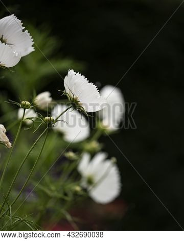 Beautiful Close Up Macro Image Of Mexican Aster Cosmos Bipinnatus White Flower In English Country Ga