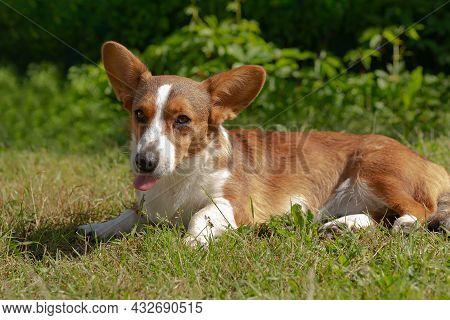 Charming Cute Little Dog Corgi Cardigan In Nature.