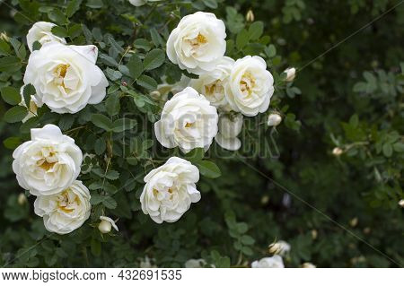 Rosehip Blossom With White Flowers. A Wild Rose Bush With Many Open Flowers. Natural Flower Backgrou