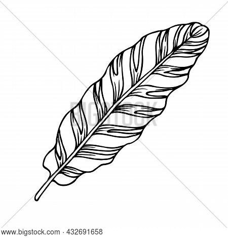 Calathea Striped Leaf, Outline Floral Hand Drawn Sketch On White Background. Tropical Plant Illustra