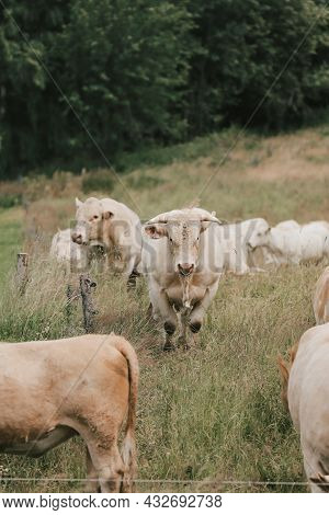 Photo Of Cows Close Up In Nature