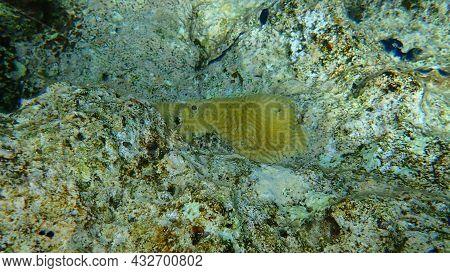Lesser Valley Coral Or Hard Brain Coral (platygyra Lamellina) Undersea, Red Sea, Egypt, Sinai, Ras M